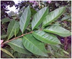 Syzygium Polyanthum Folium indonesia whole sale murah