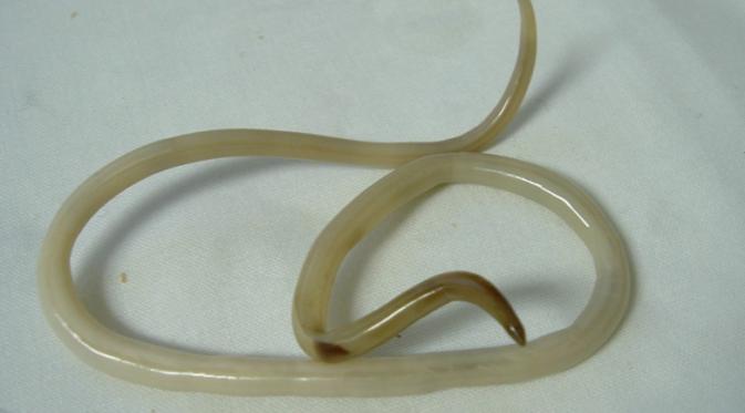 cara alami mengobati cacingan cacing gelang