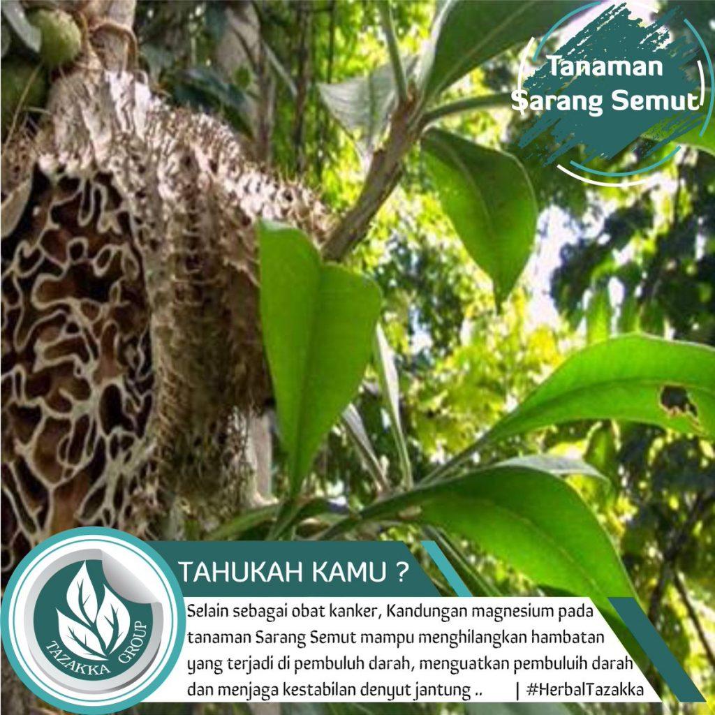 Sarang Semut Papua Agen Kapsul SARANG SEMUT Tazakka Di Surabaya