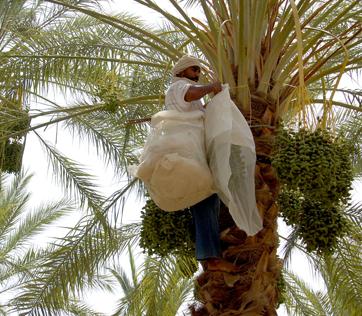 Kurma Palm Fruit Kurma Tunisia